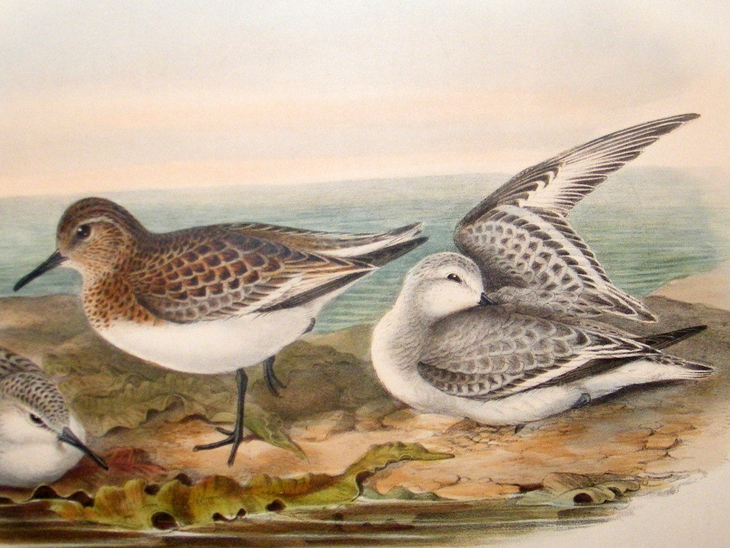 المدروان gould-birds-of-great-britain-c1870-folio-bird-print.-sanderling-[2]-43423-p.jpg